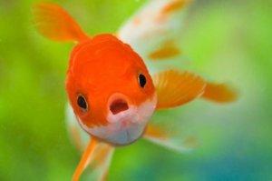 rybka